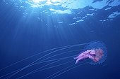 Mauve stinger jellyfish swimming