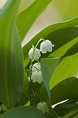 Lily-of-the valley in bloom