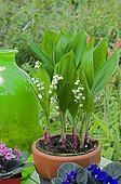 Lily-of-the-valley in bloom on a garden terrace
