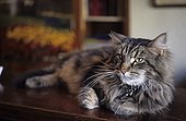 Maine Coon lied down at the reception of a hotel Holland