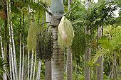 Spindle Palm in bloom in a garden in Martinique Island