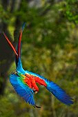 Red-and-Green-Macaw in flight Cerrado Piaui Brazil