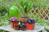 Lily-of-the-valley and African violet on a garden terrace
