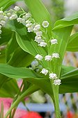 Lily-of-the-valley on a garden terrace