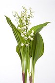 Lily-of-the-valley stalks on a white background
