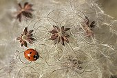 Sevenspotted lady beetle on Old man's beard fruits