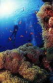 Magnificent sea anemone colony and diver Red Sea Egypt