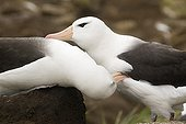 Young black browed Albatrosses training to parade ; On Saunders Island.