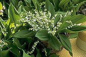 Bouquet of Lily-of-the-valley in May