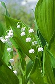 Lily-of-the-valley in a garden in spring