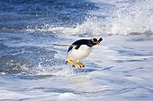 Gentoo penguin jumping out of water Falkland Islands ; Location : Sea Lion Island
