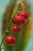 Fruits of Lily-of-the-valley in a garden Belfort France
