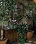 Weeping fig tree Cannon-ball Plant and Pygmy date palm