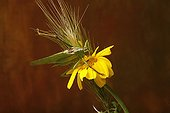 Grasshopper on yellow Asteraceae and ear of Barley