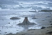 Northern Elephant Seal Bulls fighting on stormy coastline