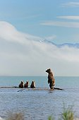 Grizzly and cubs lake Katmai Alaksa