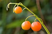 Toxic rip berries of lily of the valley in autumn France