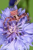 Crab Spider at steal on a flower in a shrubland
