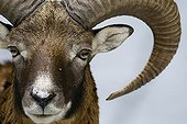 Portrait of Mouflon in the park Veldensteiner Forst