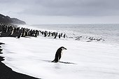 Chinstrap Penguin on shore Baily Head Deception Island