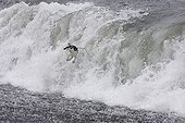 Chinstrap Penguin Riding and jumping waves Baily Head