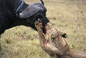 Lioness trying to suffocate a Cape buffalo Ngorongoro crater