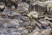 White-backed Vultures on wildebeest carcasses in Mara