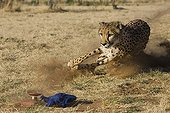 Cheetah chasing after blue flag during exercise time Namibia ; Rescued from a trap on a livestock farm