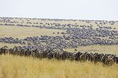 Migrating wildebeest in the savannah Masai Mara Kenya