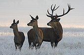 Stag Red deer & two hinds in frozen meadow Great Britain