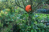 Pumpkin 'Deep red of Etampes' in a pear tree 'Conference' ; Pear tree 'Durondeau'