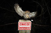 Tawny owl catching a mouse on a picket Normandie France