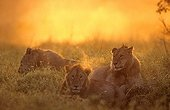 Young Lions lying in twilight Masai Mara Kenya