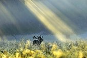 Red Deer stag roaring under sunlight Denmark ; Wildlife Photographer of the Year 2010<br>Animals in their Environment - Highly Commended<br>&quot;Dawn call&quot;