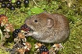 Bank Vole eating a mature adult
