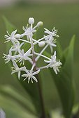 Lily of the valley in bloom in a garden