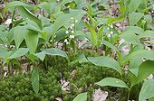 Lily of the Valley in undergrowth in Ile-de-France