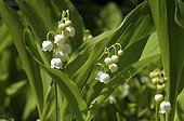 Lily of the valley in bloom in the spring France