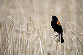 Red-winged Blackbird male on stubble Montreal Canada