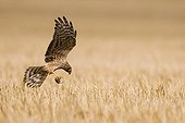Montagu's Harrier landing in a wheat field Germany ; Breeding site. The bird carries a mouse in its claws