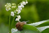 Snail on a blade of lily of the valley flowers in France