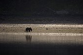 Alaskan brown bear on shore Katmai Alaska USA
