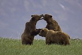 Alaskan Brown Bear males sparring Katmai National Park USA