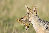 Black-backed Jackal carrying Thomson's gazelle head Kenya