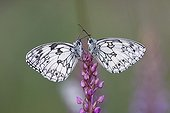Marbled whites on a flower Alsace France