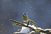 Blue tit on a branch covered with snow France