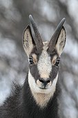 Portrait of a Chamois France
