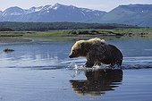 Alaskan Brown Bear running in a river Katmai USA