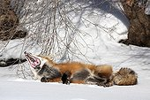 Red fox lying in the snow and yawning Canada
