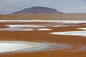 Laguna Colorada with James' flamingos Bolivia ; The salt lake contains borax islands, whose white color contrasts with the reddish color of its waters, which is caused by red sediments and pigmentation of some algae.